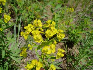 Leafy spurge. Photo by M. Kowalchuk.